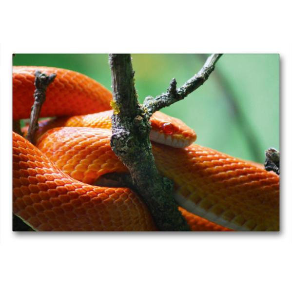 Premium Textil-Leinwand 90 cm x 60 cm quer, Rot orangene Kornnatter | Wandbild, Bild auf Keilrahmen, Fertigbild auf echter Leinwand, Leinwanddruck - Coverbild