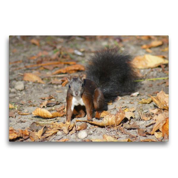Premium Textil-Leinwand 75 cm x 50 cm quer, Braunes Eichhörnchen Baby im Herbst   Wandbild, Bild auf Keilrahmen, Fertigbild auf echter Leinwand, Leinwanddruck - Coverbild
