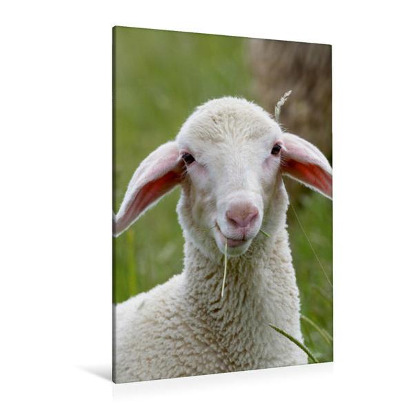 Premium Textil-Leinwand 80 cm x 120 cm  hoch, Ein Lamm der Rasse Merinolandschafe | Wandbild, Bild auf Keilrahmen, Fertigbild auf echter Leinwand, Leinwanddruck - Coverbild