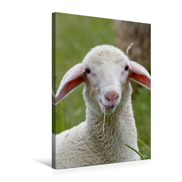 Premium Textil-Leinwand 50 cm x 75 cm hoch, Ein Lamm der Rasse Merinolandschafe   Wandbild, Bild auf Keilrahmen, Fertigbild auf echter Leinwand, Leinwanddruck - Coverbild