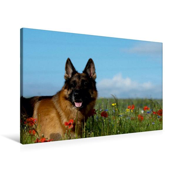 Premium Textil-Leinwand 90 cm x 60 cm quer, Deutscher Schäferhund   Wandbild, Bild auf Keilrahmen, Fertigbild auf echter Leinwand, Leinwanddruck - Coverbild