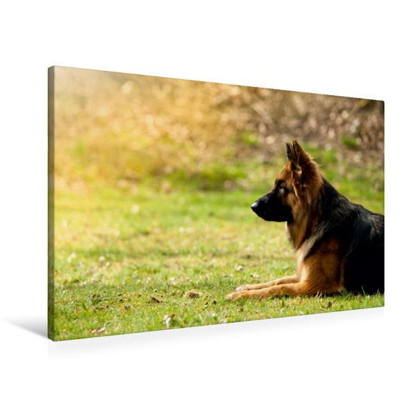 Premium Textil-Leinwand 90 cm x 60 cm quer, Deutscher Schäferhund | Wandbild, Bild auf Keilrahmen, Fertigbild auf echter Leinwand, Leinwanddruck - Coverbild