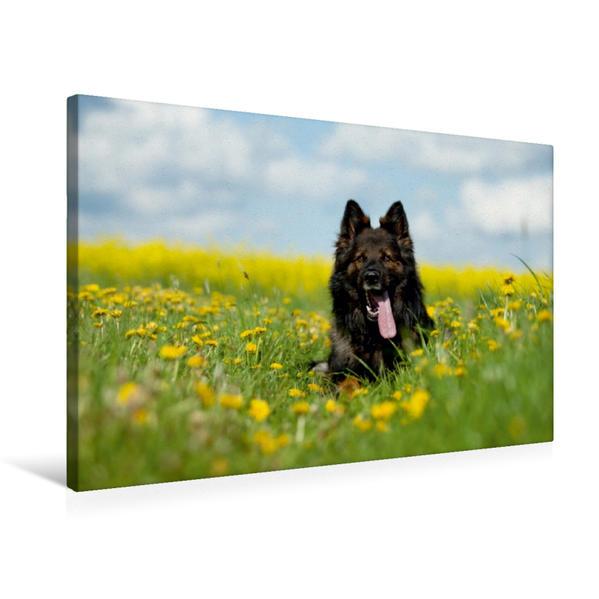 Premium Textil-Leinwand 75 cm x 50 cm quer, Langstockhaarschäferhund | Wandbild, Bild auf Keilrahmen, Fertigbild auf echter Leinwand, Leinwanddruck - Coverbild