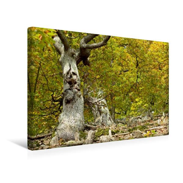 Premium Textil-Leinwand 45 cm x 30 cm quer, 800jährige Traubeneichen (Quercus petraea) am Edersee   Wandbild, Bild auf Keilrahmen, Fertigbild auf echter Leinwand, Leinwanddruck - Coverbild