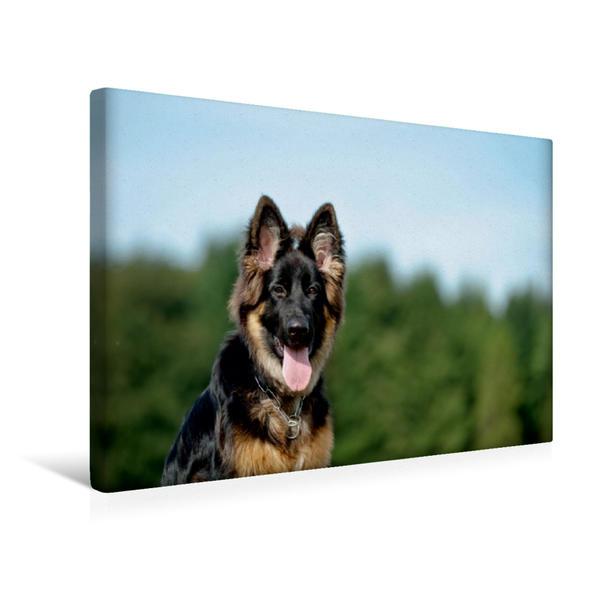Premium Textil-Leinwand 45 cm x 30 cm quer, Deutscher Schäferhund   Wandbild, Bild auf Keilrahmen, Fertigbild auf echter Leinwand, Leinwanddruck - Coverbild