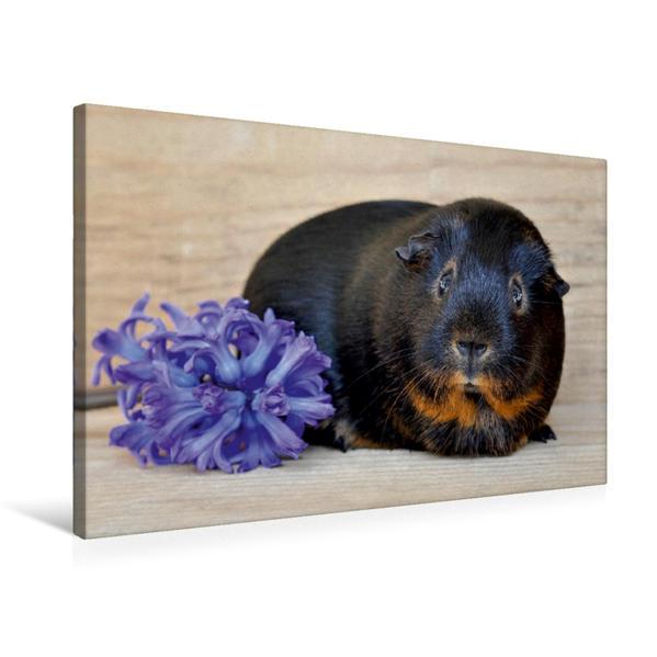 Premium Textil-Leinwand 75 cm x 50 cm quer, Ein Motiv aus dem Kalender Meerschweinchen - Kleine süße Fellnasen | Wandbild, Bild auf Keilrahmen, Fertigbild auf echter Leinwand, Leinwanddruck - Coverbild