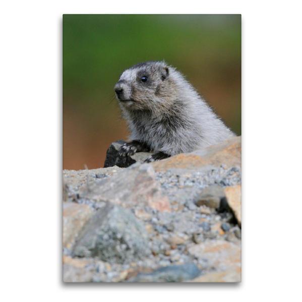 Premium Textil-Leinwand 60 cm x 90 cm hoch, Eisgraues Murmeltier | Wandbild, Bild auf Keilrahmen, Fertigbild auf echter Leinwand, Leinwanddruck - Coverbild