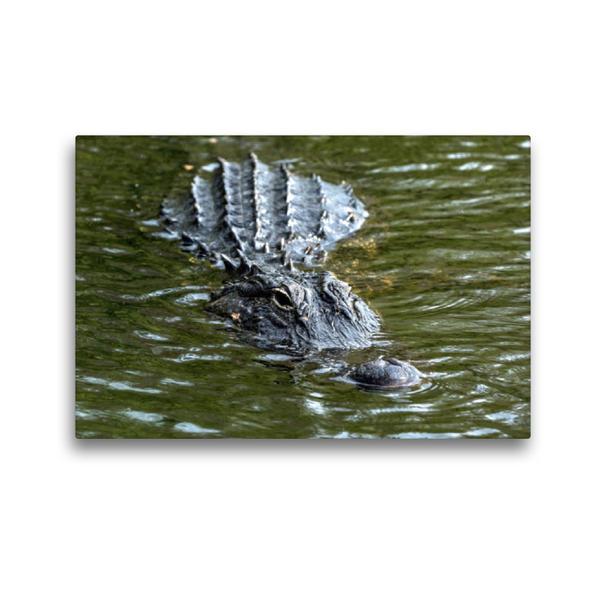 Premium Textil-Leinwand 45 cm x 30 cm quer, Missisippi Alligator, US 41 Tamiami Trail South   Wandbild, Bild auf Keilrahmen, Fertigbild auf echter Leinwand, Leinwanddruck - Coverbild