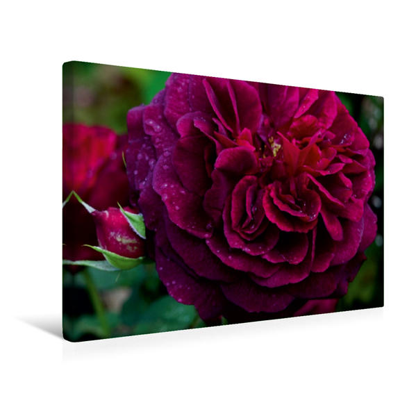 Premium Textil-Leinwand 45 cm x 30 cm quer, Englische Rose im Regen | Wandbild, Bild auf Keilrahmen, Fertigbild auf echter Leinwand, Leinwanddruck - Coverbild