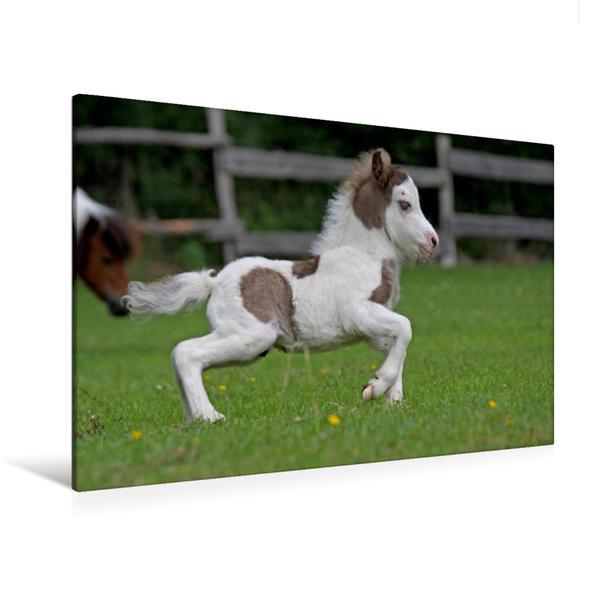 Premium Textil-Leinwand 120 cm x 80 cm quer, Miniatur Horses Fohlen | Wandbild, Bild auf Keilrahmen, Fertigbild auf echter Leinwand, Leinwanddruck - Coverbild