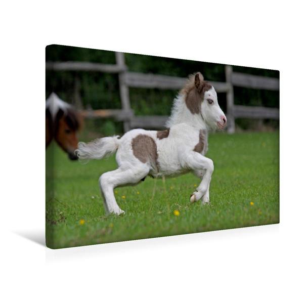Premium Textil-Leinwand 45 cm x 30 cm quer, Miniatur Horses Fohlen | Wandbild, Bild auf Keilrahmen, Fertigbild auf echter Leinwand, Leinwanddruck - Coverbild