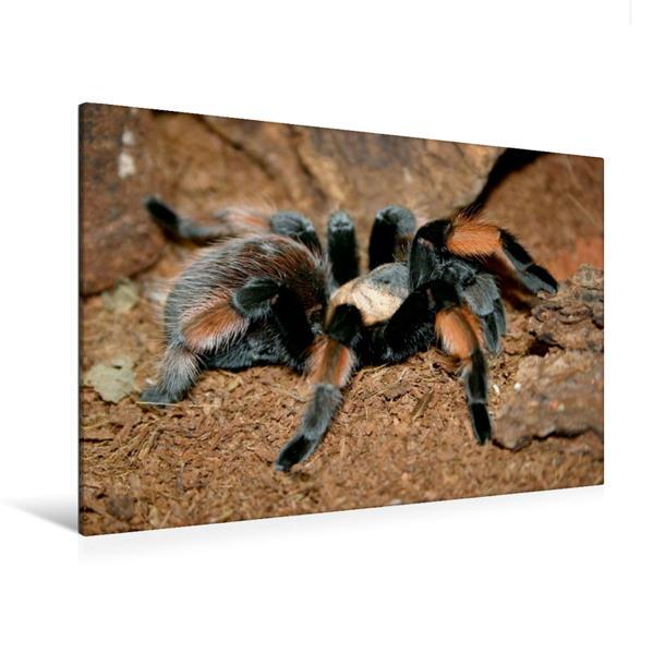Premium Textil-Leinwand 120 cm x 80 cm quer, Ein Motiv aus dem Kalender Vogelspinnen (Theraphosidae)   Wandbild, Bild auf Keilrahmen, Fertigbild auf echter Leinwand, Leinwanddruck - Coverbild