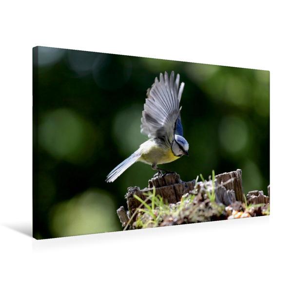 Premium Textil-Leinwand 75 cm x 50 cm quer, Fliegende Blaumeise   Wandbild, Bild auf Keilrahmen, Fertigbild auf echter Leinwand, Leinwanddruck - Coverbild