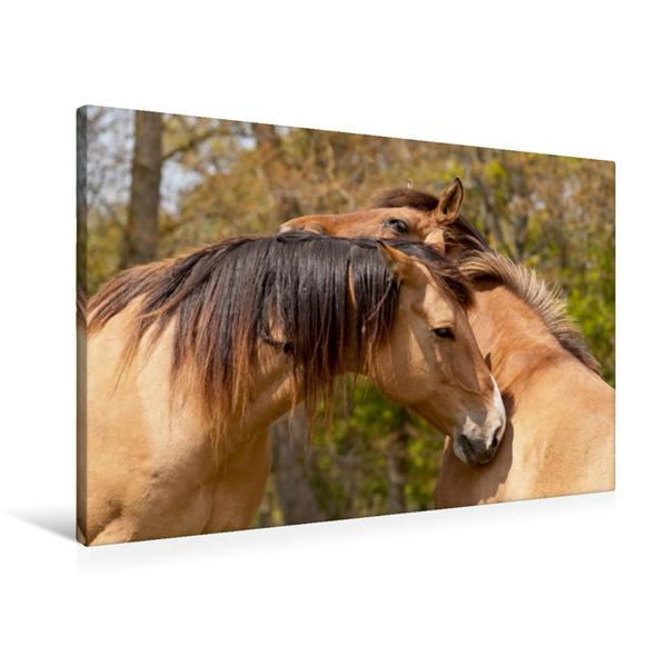 Premium Textil-Leinwand 90 cm x 60 cm quer, Henson Pferde sind besonders umgänglich | Wandbild, Bild auf Keilrahmen, Fertigbild auf echter Leinwand, Leinwanddruck - Coverbild