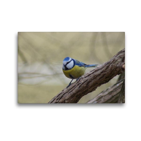 Premium Textil-Leinwand 45 cm x 30 cm quer, Blaumeise | Wandbild, Bild auf Keilrahmen, Fertigbild auf echter Leinwand, Leinwanddruck - Coverbild