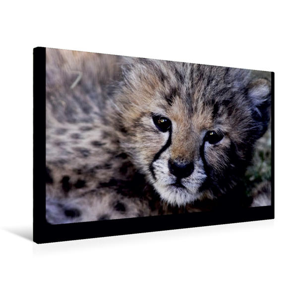 Premium Textil-Leinwand 75 cm x 50 cm quer, Gepard | Wandbild, Bild auf Keilrahmen, Fertigbild auf echter Leinwand, Leinwanddruck - Coverbild