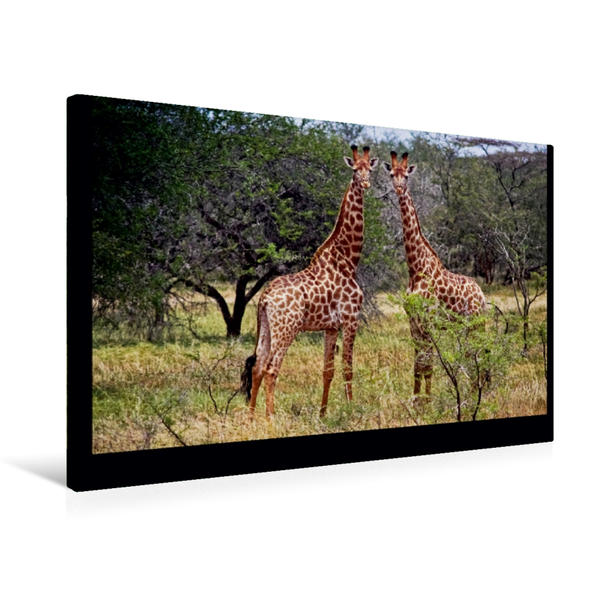 Premium Textil-Leinwand 75 cm x 50 cm quer, Giraffen | Wandbild, Bild auf Keilrahmen, Fertigbild auf echter Leinwand, Leinwanddruck - Coverbild