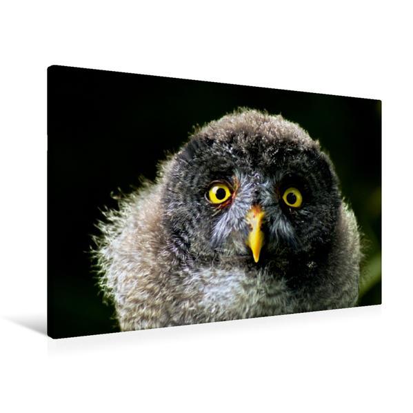 Premium Textil-Leinwand 90 cm x 60 cm quer, Bartkauz | Wandbild, Bild auf Keilrahmen, Fertigbild auf echter Leinwand, Leinwanddruck - Coverbild