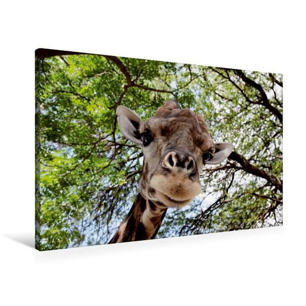 Premium Textil-Leinwand 90 cm x 60 cm quer, Kenia, Giraffe von unten | Wandbild, Bild auf Keilrahmen, Fertigbild auf echter Leinwand, Leinwanddruck - Coverbild