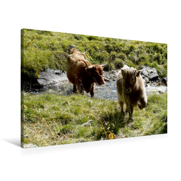 Premium Textil-Leinwand 90 cm x 60 cm quer, Scottish Highland Kälber spielen am Bach | Wandbild, Bild auf Keilrahmen, Fertigbild auf echter Leinwand, Leinwanddruck - Coverbild