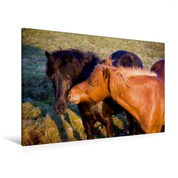 Premium Textil-Leinwand 120 cm x 80 cm quer, Island Ponys | Wandbild, Bild auf Keilrahmen, Fertigbild auf echter Leinwand, Leinwanddruck - Coverbild