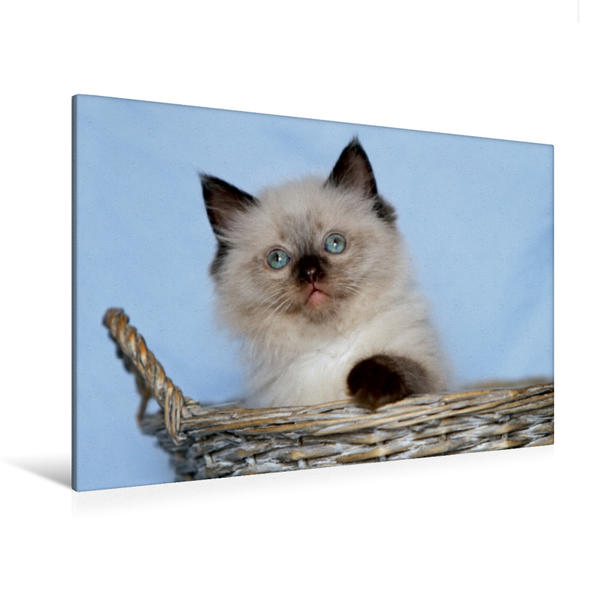 Premium Textil-Leinwand 120 cm x 80 cm quer, Ein Motiv aus dem Kalender Ragdoll Babys   Wandbild, Bild auf Keilrahmen, Fertigbild auf echter Leinwand, Leinwanddruck - Coverbild