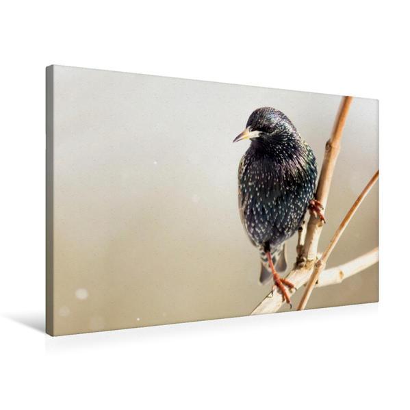 Premium Textil-Leinwand 75 cm x 50 cm quer, Star   Wandbild, Bild auf Keilrahmen, Fertigbild auf echter Leinwand, Leinwanddruck - Coverbild