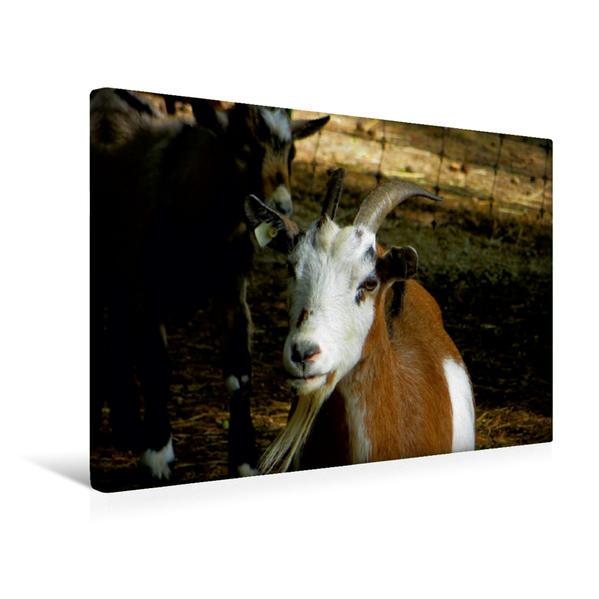 Premium Textil-Leinwand 45 cm x 30 cm quer, Freche Ziegenböcke | Wandbild, Bild auf Keilrahmen, Fertigbild auf echter Leinwand, Leinwanddruck - Coverbild