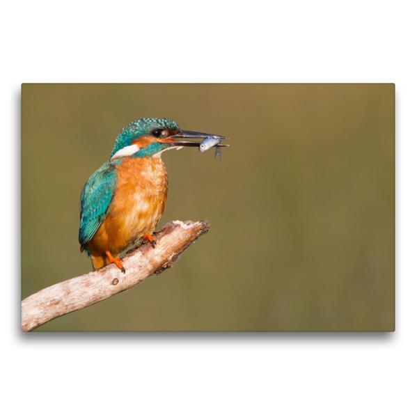 Premium Textil-Leinwand 75 cm x 50 cm quer, Eisvogel mit erbeutetem Fisch | Wandbild, Bild auf Keilrahmen, Fertigbild auf echter Leinwand, Leinwanddruck - Coverbild