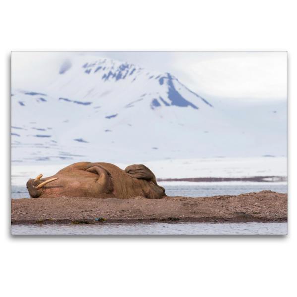 Premium Textil-Leinwand 120 cm x 80 cm quer, Walross   Wandbild, Bild auf Keilrahmen, Fertigbild auf echter Leinwand, Leinwanddruck - Coverbild