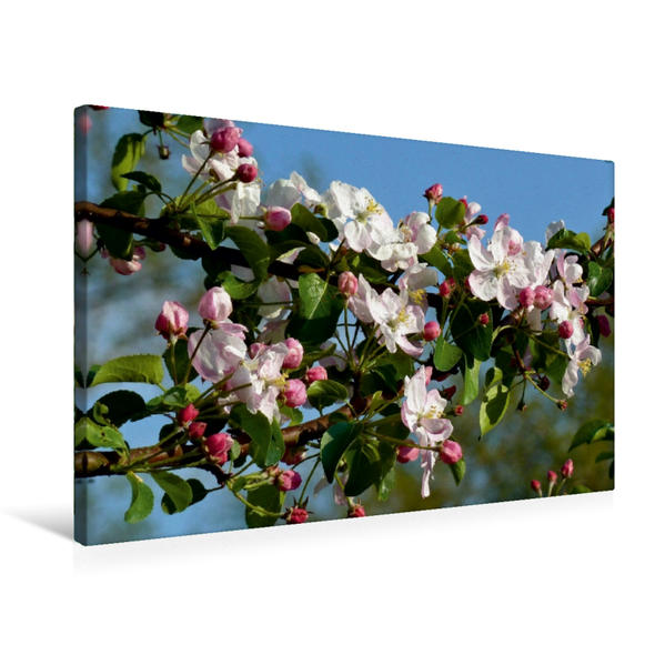 Premium Textil-Leinwand 75 cm x 50 cm quer, Apfelblüten   Wandbild, Bild auf Keilrahmen, Fertigbild auf echter Leinwand, Leinwanddruck - Coverbild
