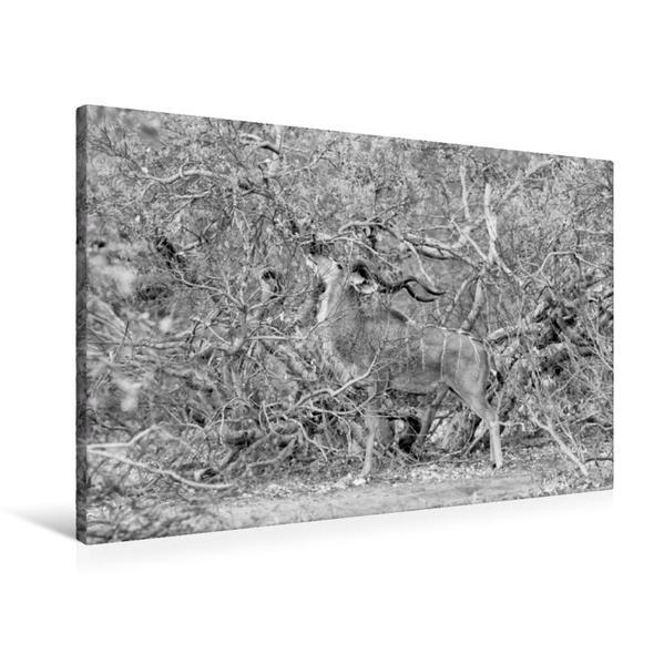 Premium Textil-Leinwand 90 cm x 60 cm quer, Männlicher Kudu, Botswana | Wandbild, Bild auf Keilrahmen, Fertigbild auf echter Leinwand, Leinwanddruck - Coverbild