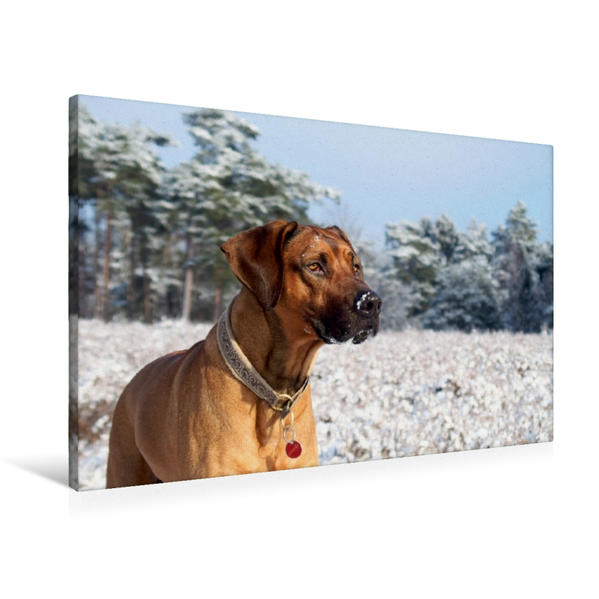 Premium Textil-Leinwand 90 cm x 60 cm quer, Ein Motiv aus dem Kalender Ridgebacks - Hunde aus Afrika   Wandbild, Bild auf Keilrahmen, Fertigbild auf echter Leinwand, Leinwanddruck - Coverbild