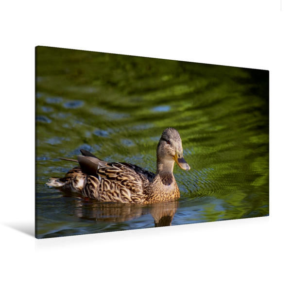 Premium Textil-Leinwand 120 cm x 80 cm quer, Ente auf dem See   Wandbild, Bild auf Keilrahmen, Fertigbild auf echter Leinwand, Leinwanddruck - Coverbild