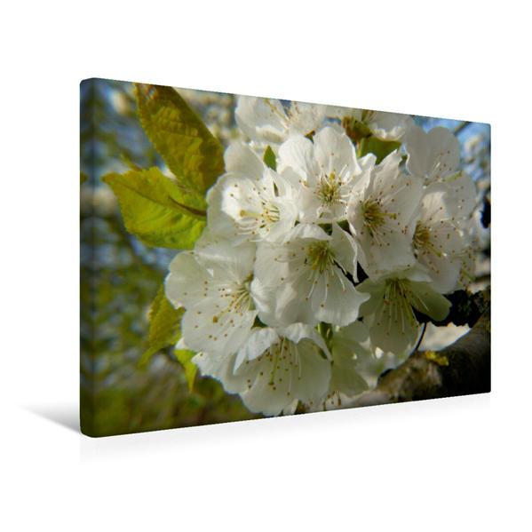 Premium Textil-Leinwand 45 cm x 30 cm quer, Kirschblüte | Wandbild, Bild auf Keilrahmen, Fertigbild auf echter Leinwand, Leinwanddruck - Coverbild