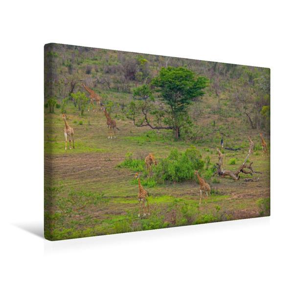Premium Textil-Leinwand 45 cm x 30 cm quer, Giraffen im Hluhluwe-iMfolozi-Nationalpark | Wandbild, Bild auf Keilrahmen, Fertigbild auf echter Leinwand, Leinwanddruck - Coverbild