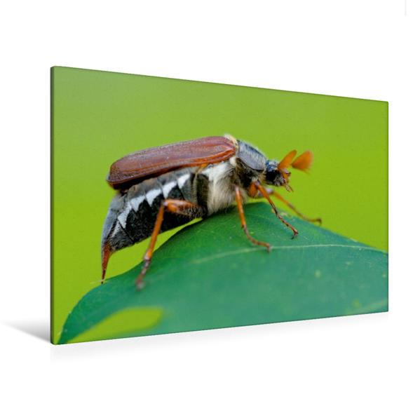 Premium Textil-Leinwand 120 cm x 80 cm quer, Feldmaikäfer (Melolontha melolontha) | Wandbild, Bild auf Keilrahmen, Fertigbild auf echter Leinwand, Leinwanddruck - Coverbild