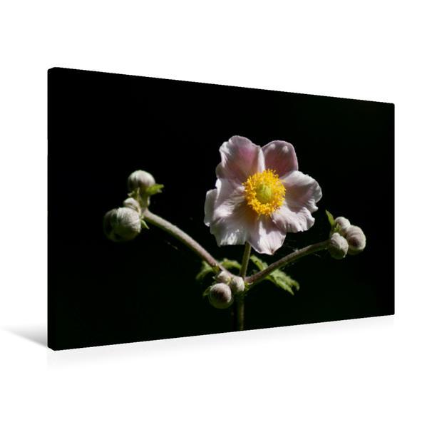Premium Textil-Leinwand 75 cm x 50 cm quer, Herbstannemone | Wandbild, Bild auf Keilrahmen, Fertigbild auf echter Leinwand, Leinwanddruck - Coverbild