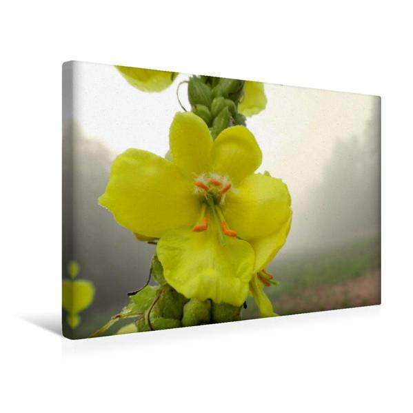 Premium Textil-Leinwand 45 cm x 30 cm quer, Königskerzen Blüte im August | Wandbild, Bild auf Keilrahmen, Fertigbild auf echter Leinwand, Leinwanddruck - Coverbild