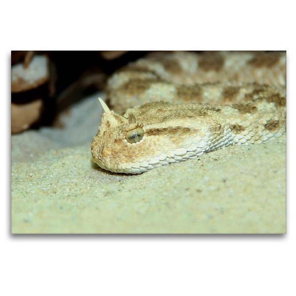 Premium Textil-Leinwand 120 cm x 80 cm quer, Gefährliche Schlangen - Hornviper   Wandbild, Bild auf Keilrahmen, Fertigbild auf echter Leinwand, Leinwanddruck - Coverbild