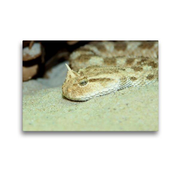 Premium Textil-Leinwand 45 cm x 30 cm quer, Gefährliche Schlangen - Hornviper | Wandbild, Bild auf Keilrahmen, Fertigbild auf echter Leinwand, Leinwanddruck - Coverbild