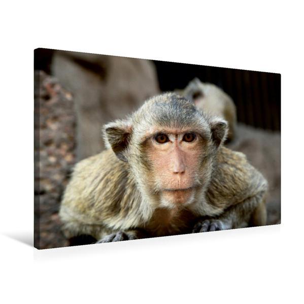 Premium Textil-Leinwand 75 cm x 50 cm quer, Thailand, Affe in Lopburi | Wandbild, Bild auf Keilrahmen, Fertigbild auf echter Leinwand, Leinwanddruck - Coverbild