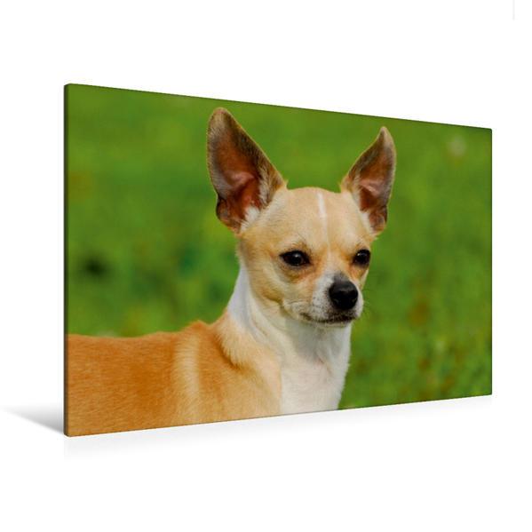 Premium Textil-Leinwand 120 cm x 80 cm quer, Ein Motiv aus dem Kalender Chihuahua - Kleine Hunde ganz groß | Wandbild, Bild auf Keilrahmen, Fertigbild auf echter Leinwand, Leinwanddruck - Coverbild
