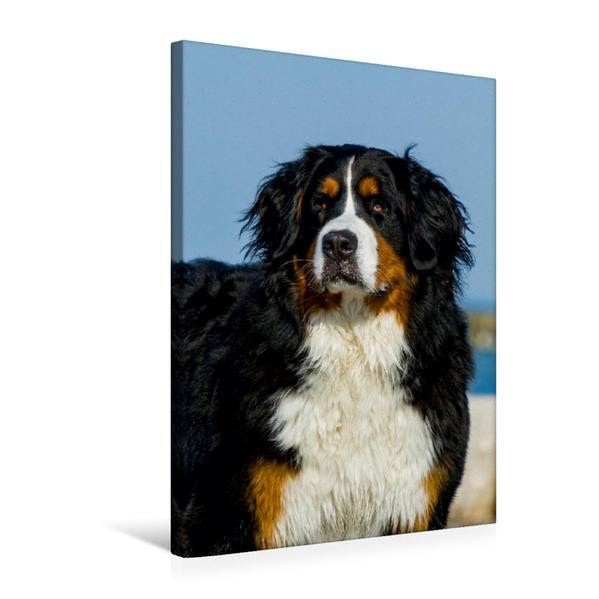 Premium Textil-Leinwand 50 cm x 75 cm hoch, Ein Motiv aus dem Kalender Berner Sennenhund 2017   Wandbild, Bild auf Keilrahmen, Fertigbild auf echter Leinwand, Leinwanddruck - Coverbild