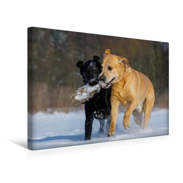 Premium Textil-Leinwand 45 cm x 30 cm quer, Labrador Retriever | Wandbild, Bild auf Keilrahmen, Fertigbild auf echter Leinwand, Leinwanddruck - Coverbild