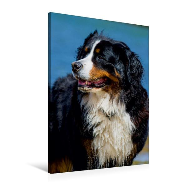 Premium Textil-Leinwand 60 cm x 90 cm hoch, Ein Motiv aus dem Kalender Faszination Berner Sennenhund   Wandbild, Bild auf Keilrahmen, Fertigbild auf echter Leinwand, Leinwanddruck - Coverbild