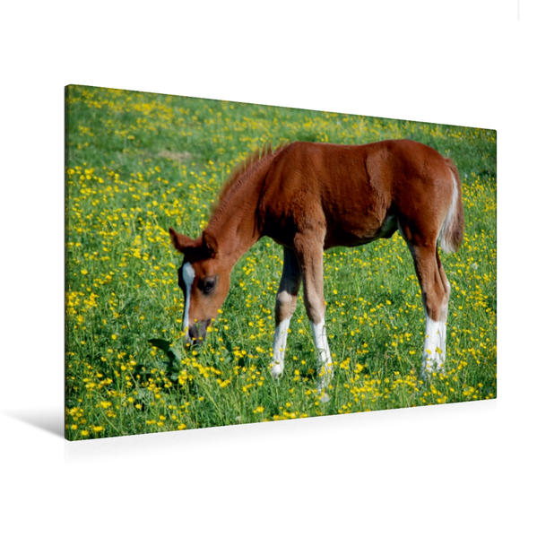 Premium Textil-Leinwand 120 cm x 80 cm quer, Fohlen | Wandbild, Bild auf Keilrahmen, Fertigbild auf echter Leinwand, Leinwanddruck - Coverbild