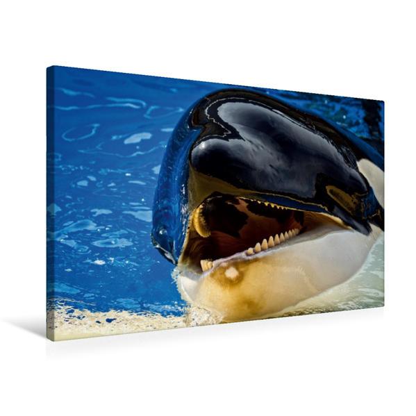 Premium Textil-Leinwand 75 cm x 50 cm quer, Ein Motiv aus dem Kalender Orcas aus dem Loro Parque | Wandbild, Bild auf Keilrahmen, Fertigbild auf echter Leinwand, Leinwanddruck - Coverbild