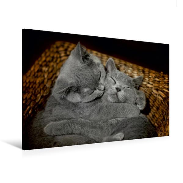 Premium Textil-Leinwand 120 cm x 80 cm quer, Ein Motiv aus dem Kalender Bärige Schmusetiger - Britisch Kurzhaar / CH-Version | Wandbild, Bild auf Keilrahmen, Fertigbild auf echter Leinwand, Leinwanddruck - Coverbild