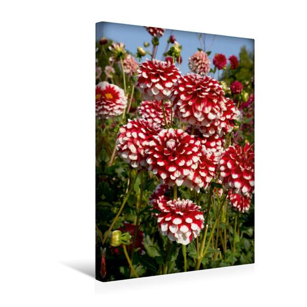 Premium Textil-Leinwand 30 cm x 45 cm hoch, Ein Motiv aus dem Kalender Dahlien – elegant und schön   Wandbild, Bild auf Keilrahmen, Fertigbild auf echter Leinwand, Leinwanddruck - Coverbild